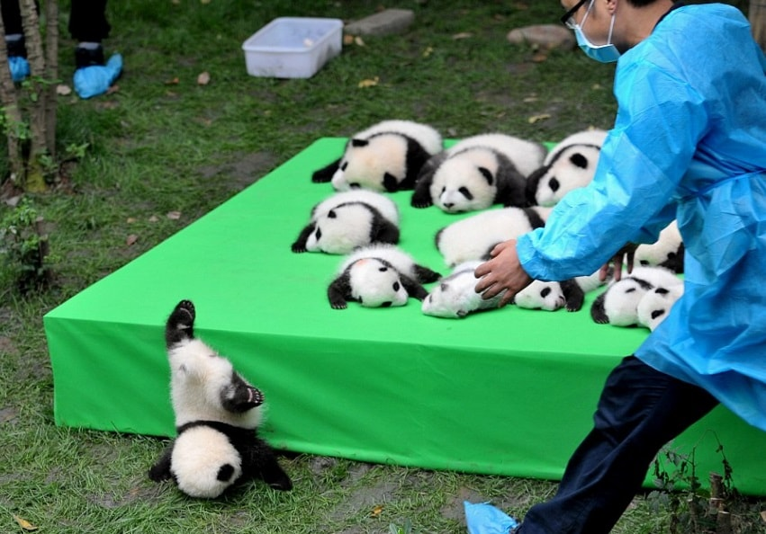 imagenes de osos panda - Los Momentos que Conmocionaron al mundo en 2016